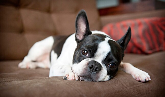 What are some traits of miniature Boston terriers?