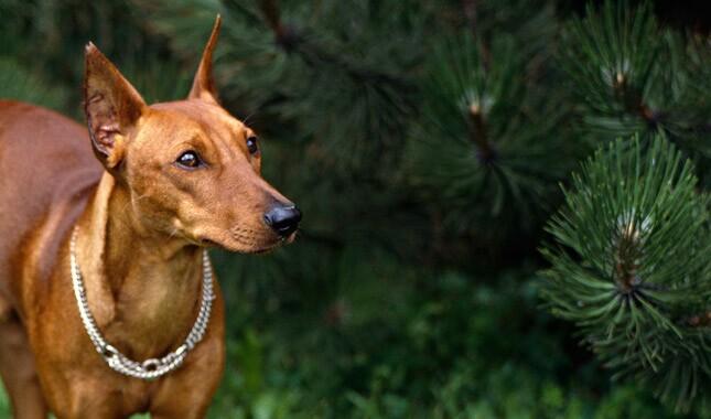 德国Pinscher狗