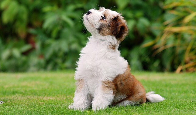 Tibetan Terrier Dog