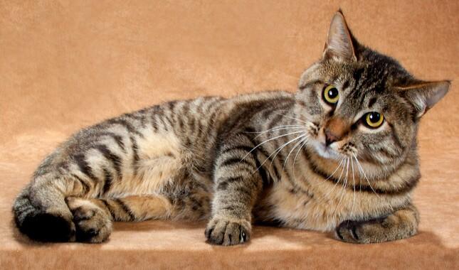 природа это порода кошек фото китайская ли хуа можно
