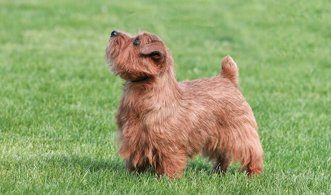 Norfolk Terrier Dog Breed