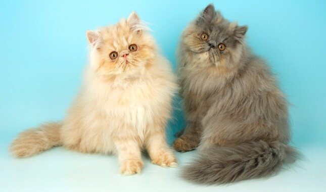 Cream and Gray Persian Cats