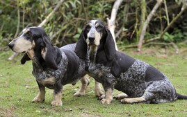 Two Basset Bleu de Gascogne Dogs Outdoors in Grass