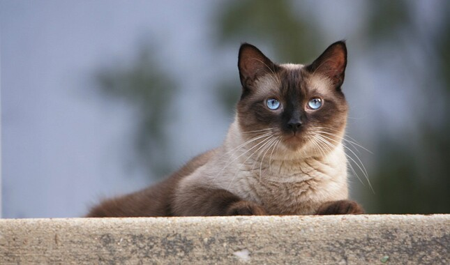 Siamese Laying on Wall