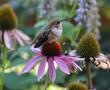 Hummingbird on purple flower