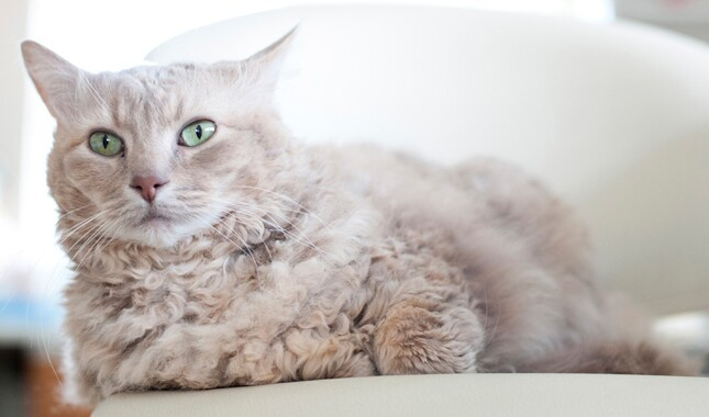 LaPerm Cat With Green Eyes Sitting