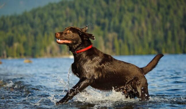 Labrador Retriever in Water