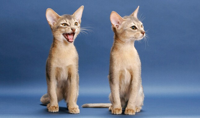 Two Abyssinian Cats on Blue Background