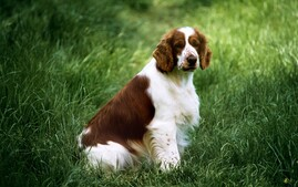 Welsh Springer Spaniel in a field