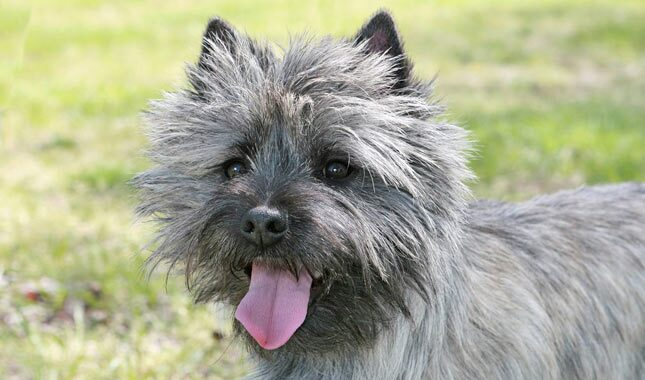Cairn Terrier Breed Information