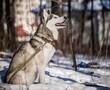 Winter Dog Myths Husky Outside