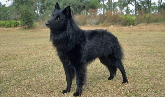 Belgian Sheepdog