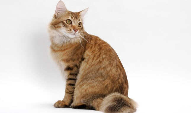 Orange American Bobtail sitting