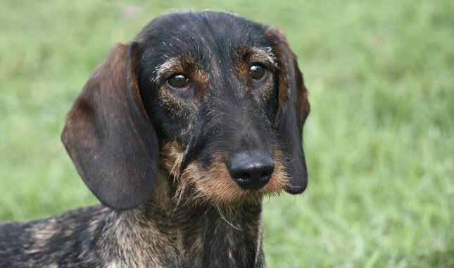 Dachshund Dog Breed