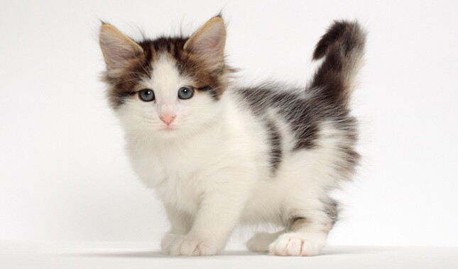 Norwegian Forest Cat Kitten