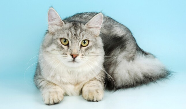 White and Gray Siberian Cat