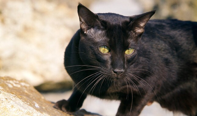 Black Havana cat