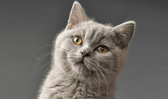British Shorthair 1