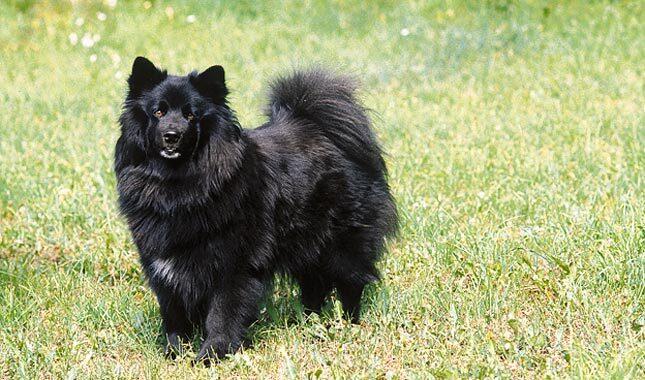 Swedish Hunting Dog Breeds