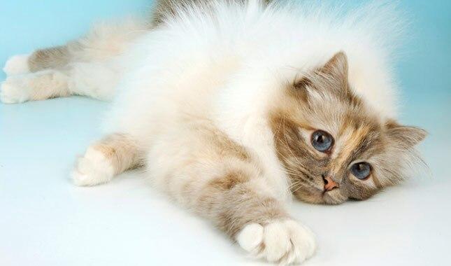 Birman cat laying down