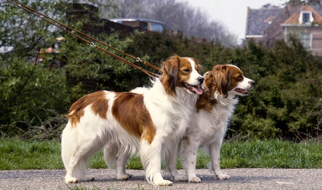 Two Kooikerhondje Dogs on Leash