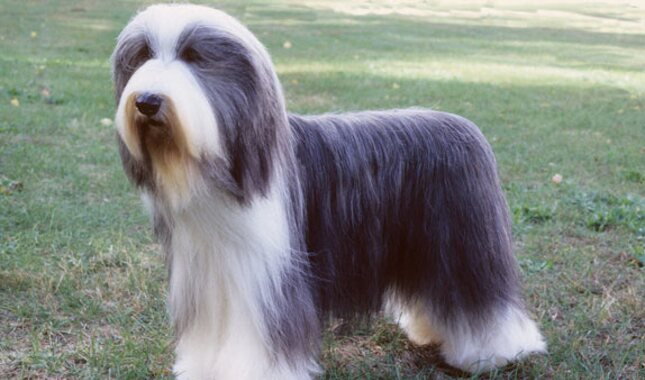 Bearded Collie Breed Information