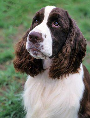 English Springer Spaniel Dog Breed