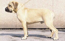 Perro de Presa Canario, Dogo Canario.