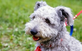 Pumi on Leash