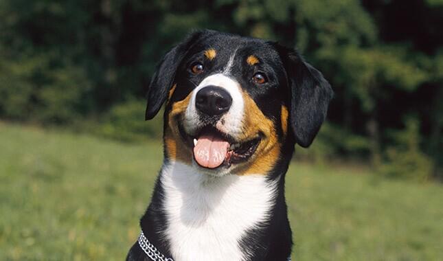 Entlebucher Mountain Dog happy in field.