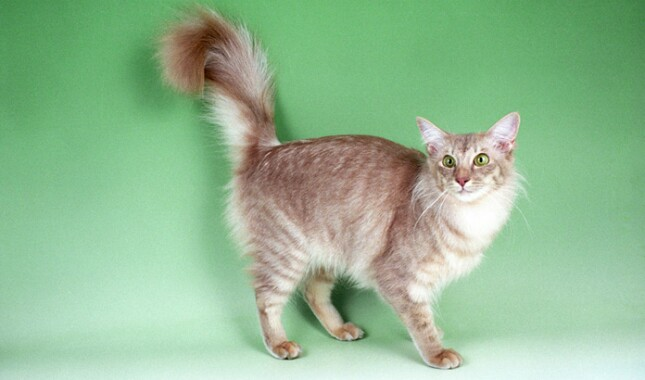 Javanese Cat on Green Background
