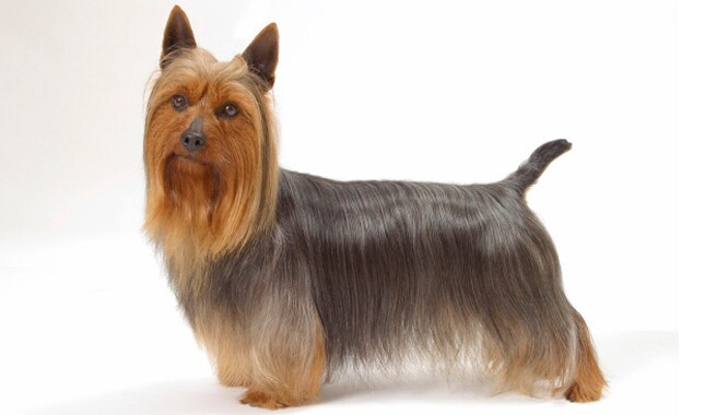Silky Terrier Dog Breed Information