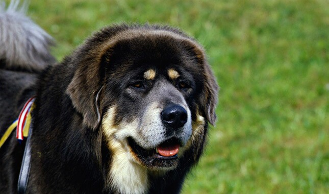 8f5e78aba Tibetan Mastiff Dog Breed Information