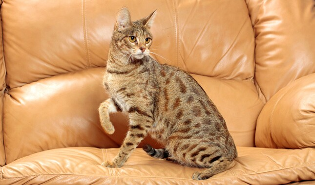Savannah Cat on Plush Chair