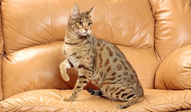 Savannah Cat on Plush Chair