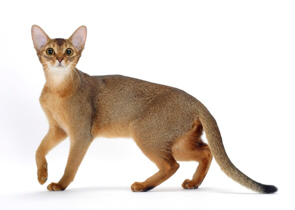 Abyssinian Cat Lion