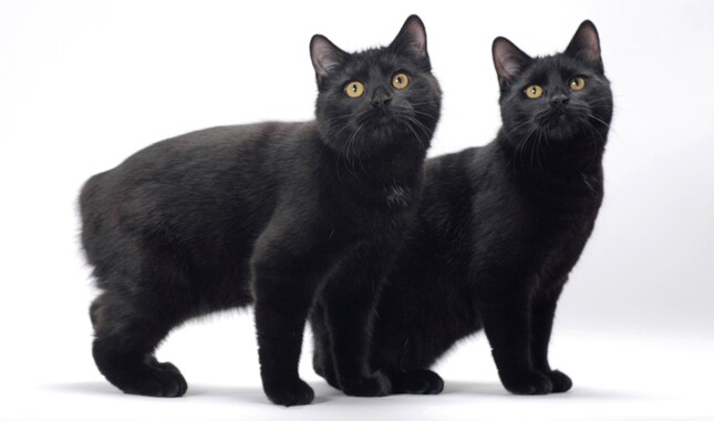 Two Black Manx Cats