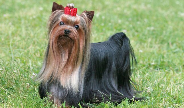 yorkie terrier breed yorkshire terrier dog breed information 3363