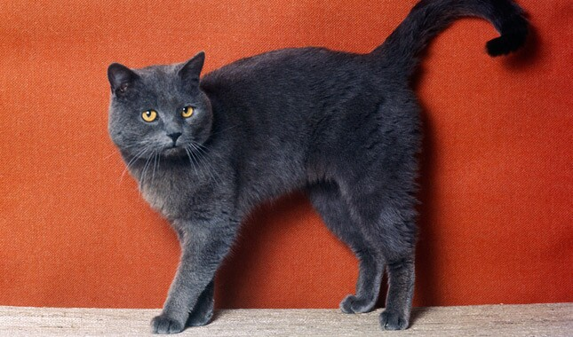 Dark Colored British Shorthair
