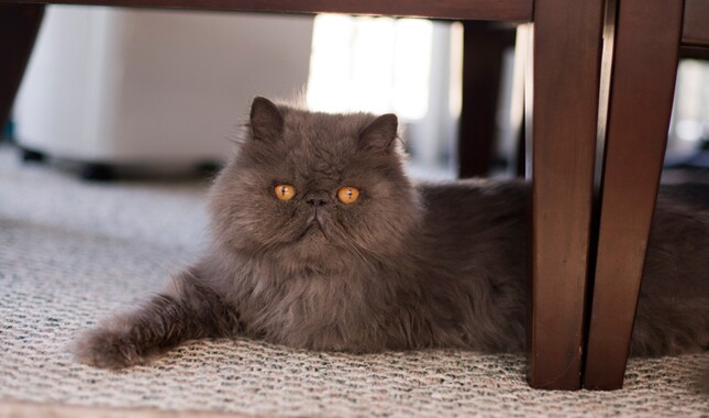 Gray Persian Cat on Carpet