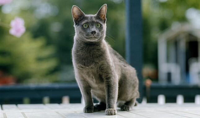 Russian Blue Near Window