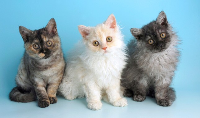 Selkirk Rex Cat Breed Information