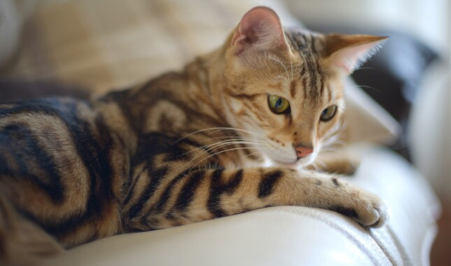 Bengal Cat Laying Down