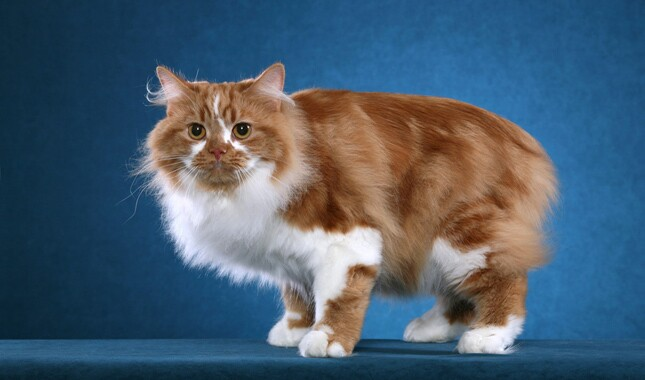 Red and White Cymric Cat