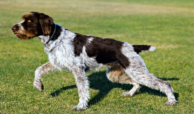 German Wirehaired Pointer dog pointing