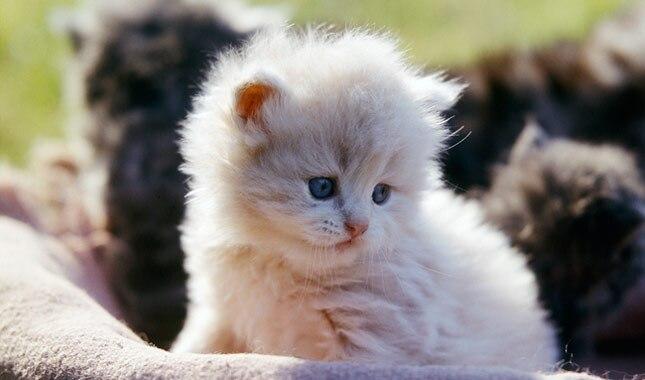 Resultado de imagem para persian kittens
