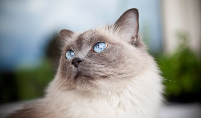 Ragdoll cat close up