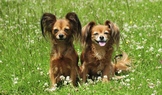 Two Russian Toy Dogs Sitting in Grass