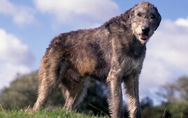 Irish Wolfhound Dog Breed