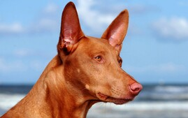 Pharaoh Hound at the beach